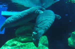 Manatee Day at Epcot Helps Educate Guests 1