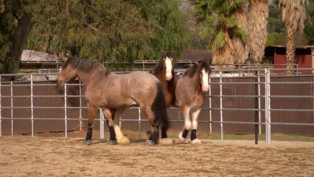 Disneyland Resort Horses Take a Break While Main Street, U.S.A. Undergoes Enhancements 1