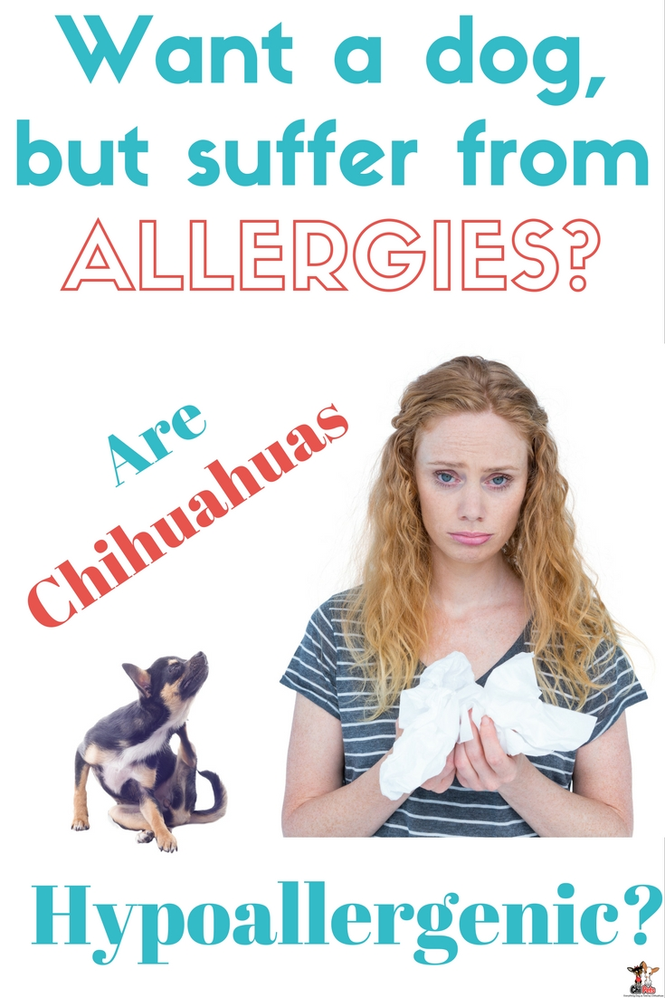 are chihuahua hypoallergenic are chihuahuas hypoallergenic chi pets 9618