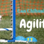 Can Chihuahuas do Agility?