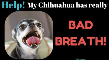 Help! My Chihuahua has Really BAD Breath!
