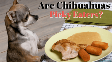 Are Chihuahuas Picky Eaters?
