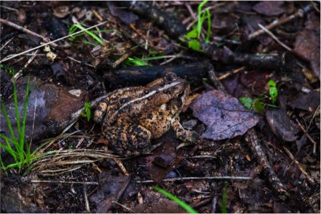 bundy-frog-1