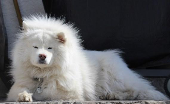 Sibirische Hunde Samojede