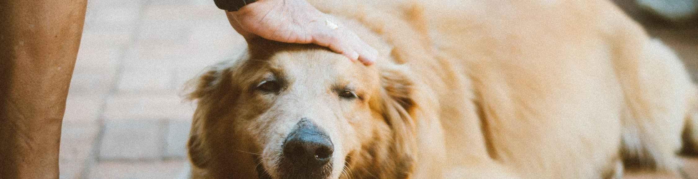 Die Herzwurmerkrankung bei Hunden - Symptome und Behandlung