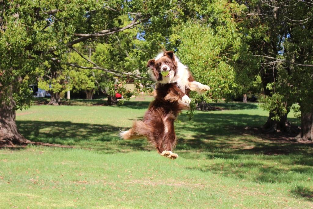 Beim Flyball muss der Hund den Ball aus der Luft auffangen und über den Parcours zurück zum Halter laufen.