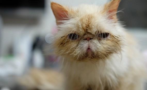 Katzenkrankheiten - Virusinfektionen in den Augen