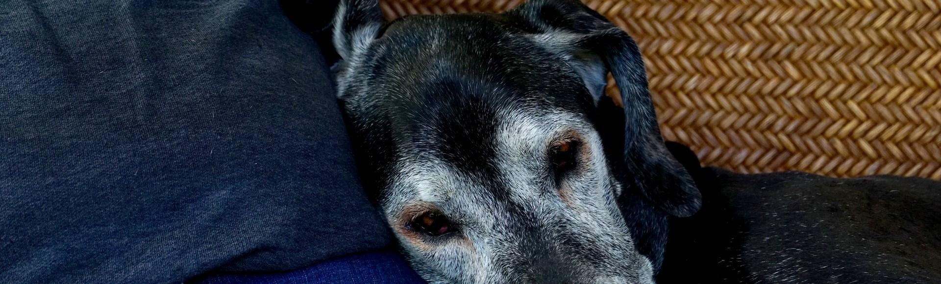 Wenn Sie sich um Ihren älteren Hund kümmern und ihn regelmäßig zum Tierarzt bringen, bleibt Ihr Hund länger gesund und glücklich.