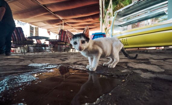 Auch Katzen sind, wie wir Menschen, anfällig für Krankheiten. Als Katzenbesitzer ist es deshalb notwendig, dass Sie den Gesundheitszustand Ihres Haustieres genau beobachten.