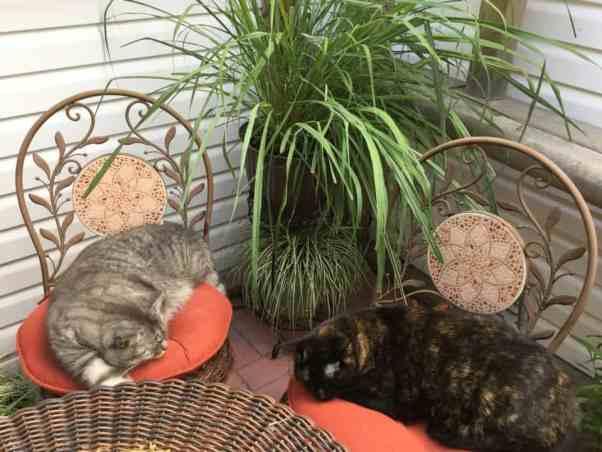 Lemongrass for cats