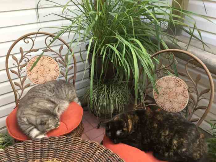 Lemongrass for cats