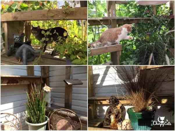 Grass Grazing cats
