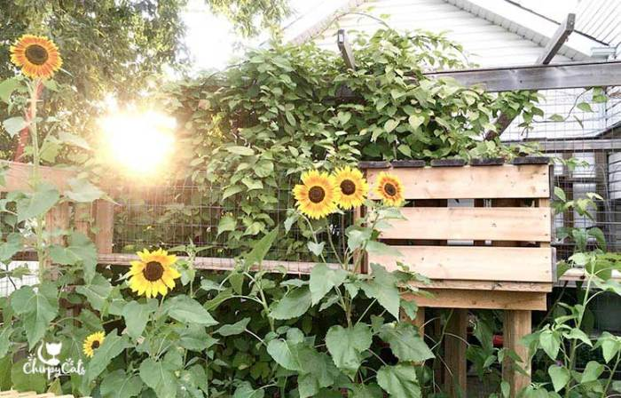 Sunset background over backyard catio with tall sunflowers