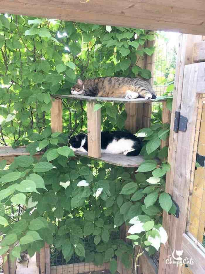 Actinidia Kolomikta or Kiwi Vine provides ideal shade for sleepy cats in their catio