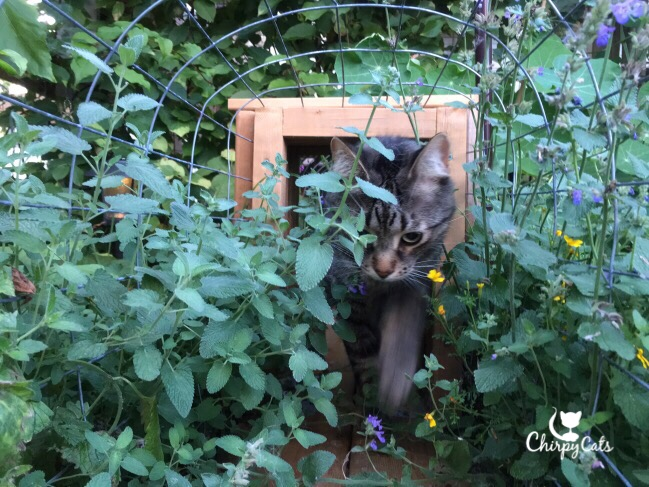 Cat among the catmint and catnip