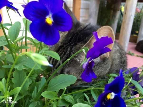 Ollie the cat, eating pansies