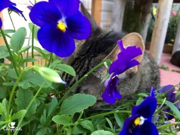 Ollie the cat, eating pansies