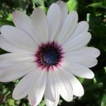 African Daisy in full bloom