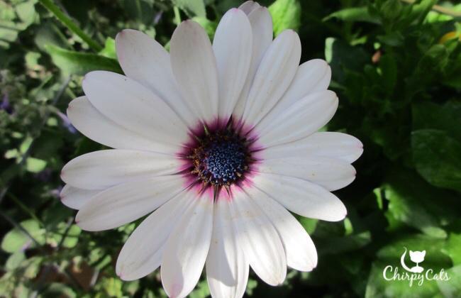 African Daisy in full bloom