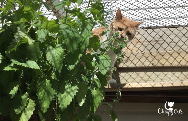 Cat munches on catnip