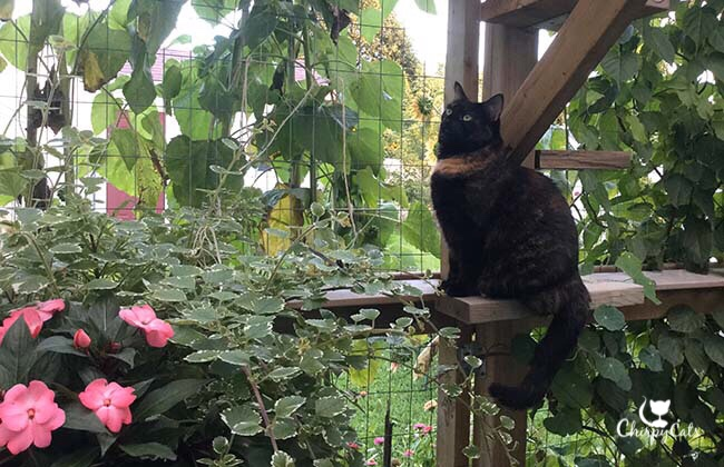 tortie cat sits amongst the impatiens flowers