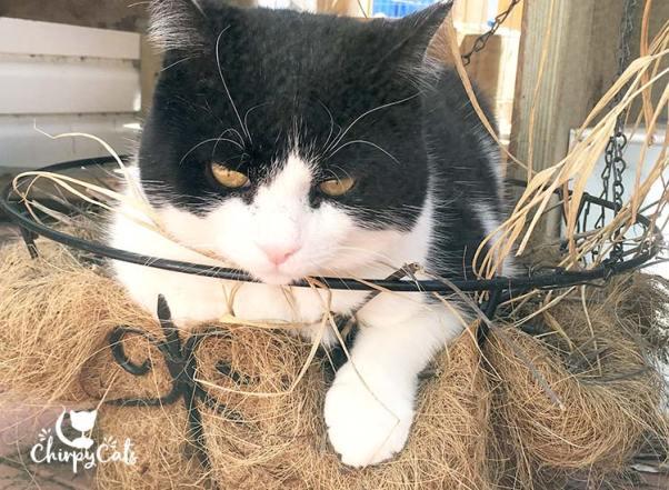 Sly Pie sits in the catnip basket