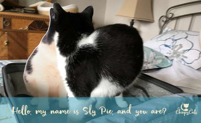 Packing for BlogPaws with Sly Pie cat