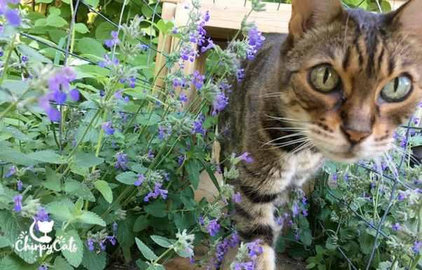 sarabi the bengal cat walks through catnip tunnel