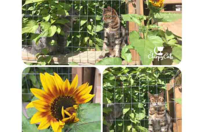 sunflowers in catio garden