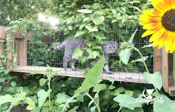 cat walking in catio tunnel among the giant sunflowers