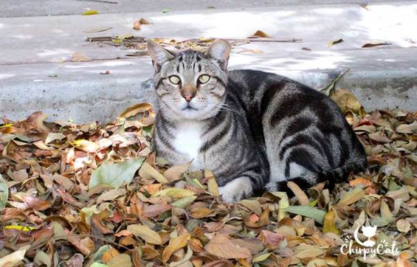 beautiful tufcat feral cat