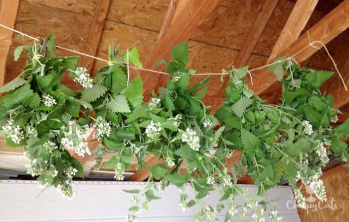 Drying catnip in the shed for a period of four months
