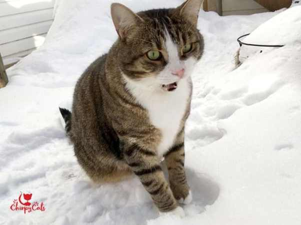cat making expressions standing in the snow