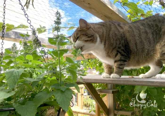 Charlie the cat loves to prune to catnip hanging basket. How to grow catnip.