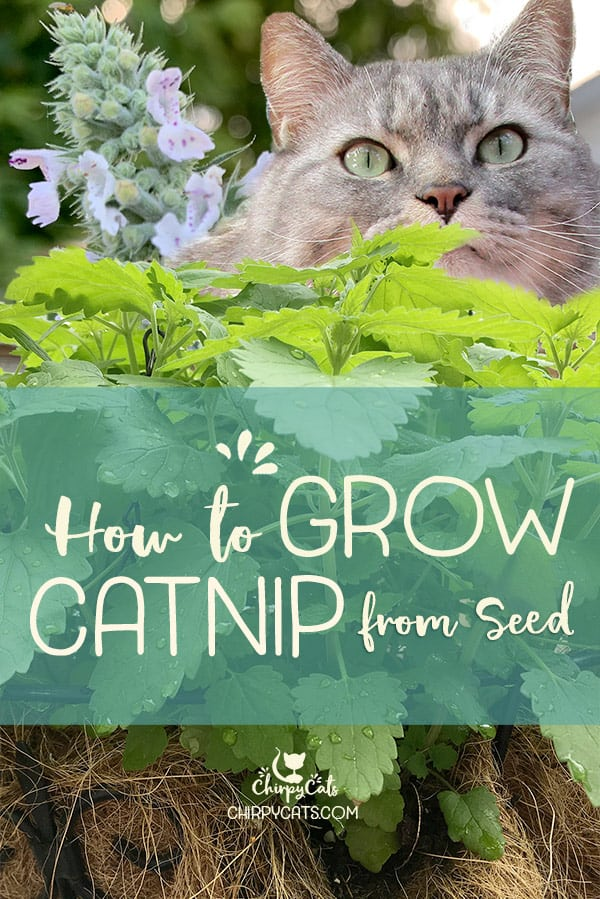 How to grow catnip from seed without a green thumb