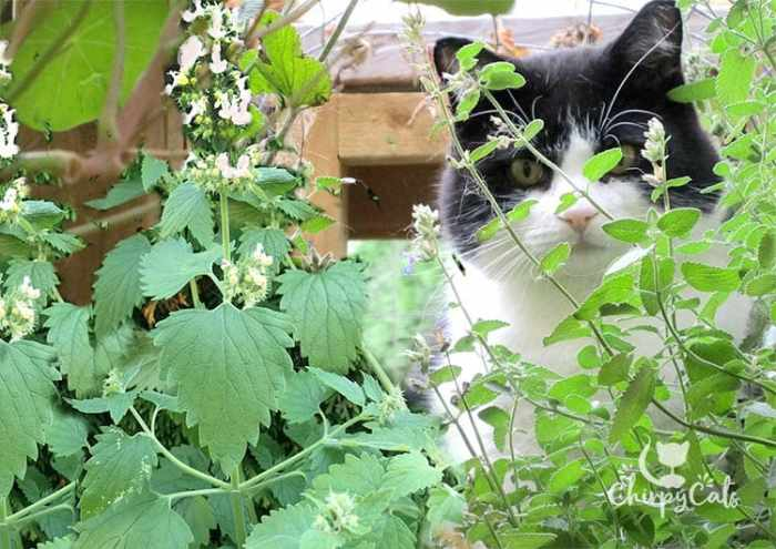 cat enjoying the scent of his catnip tunnel. How to grow catnip