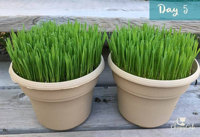 How to cat cat grass at any time of the year for your indoor cat