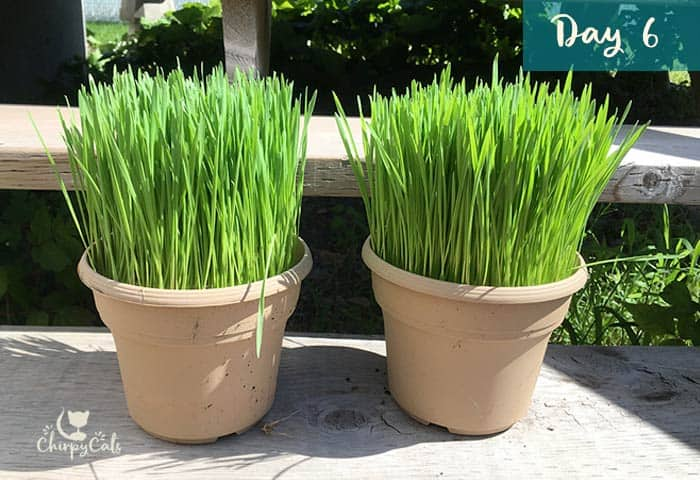 Serve up a kitty grass buffet for your cats