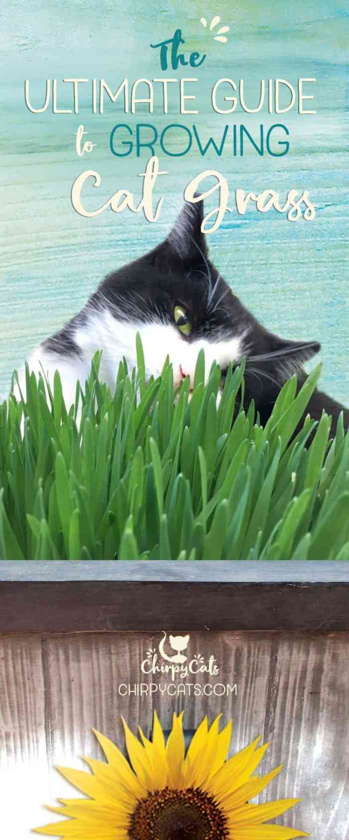 How to grow cat grass for your indoor cat