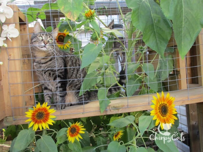 Ollie the cat sits in the sunflower tunnel