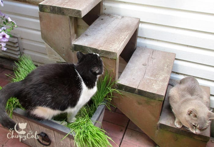 Make a cat grass bed for your cat
