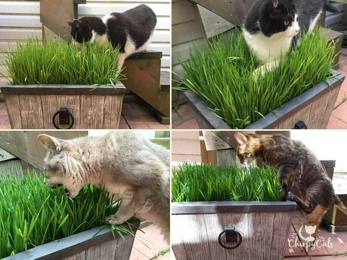 Cats exploring the cat grass bed