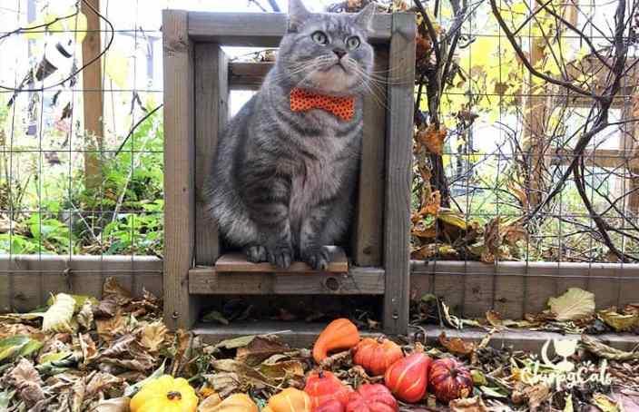 Mr. Jack the grey tabby in his orange bow tie
