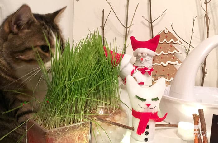 Tabby cat hides behind the cat grass containers at the water fountain