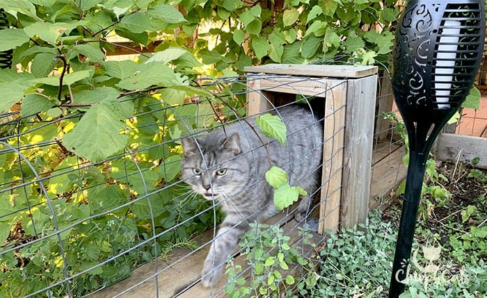 Grey tabby cat walking in the catnip catio tunnel