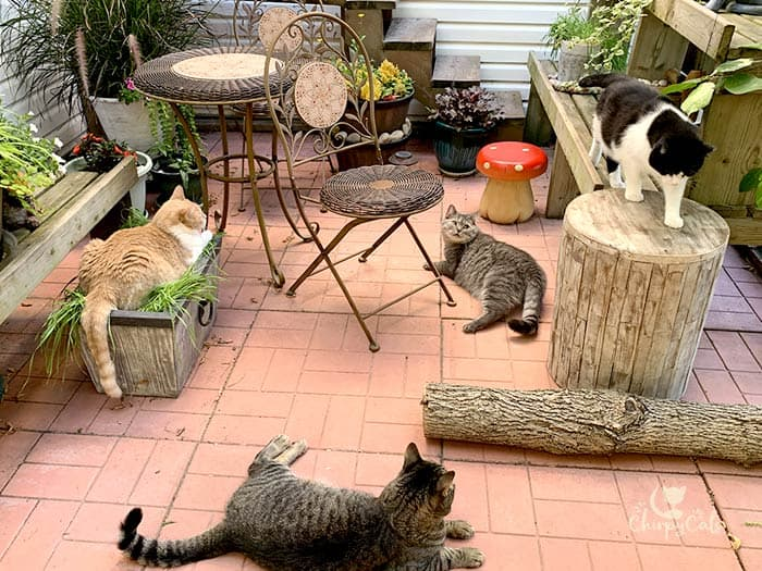 multiple cats enjoying their catio decorated with garden accessories