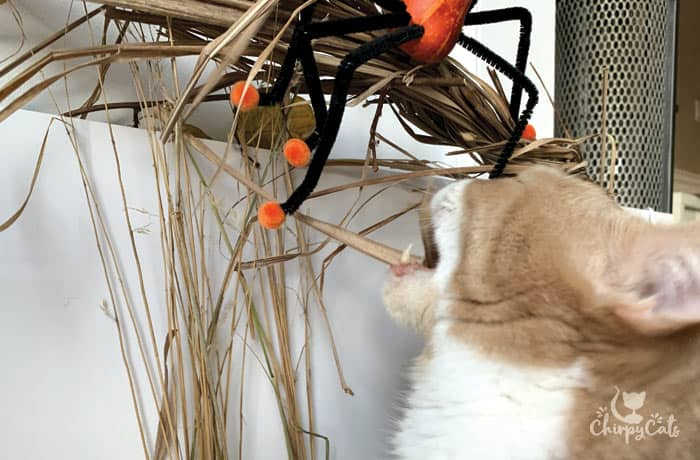 ginger cat takes a snack from the lemongrass stalks and plays with spider cat toy