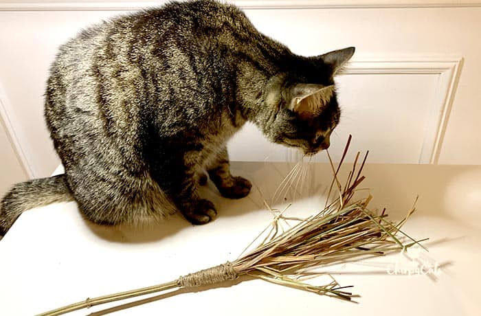 tabby cat inspecting his new witches broom cat toy