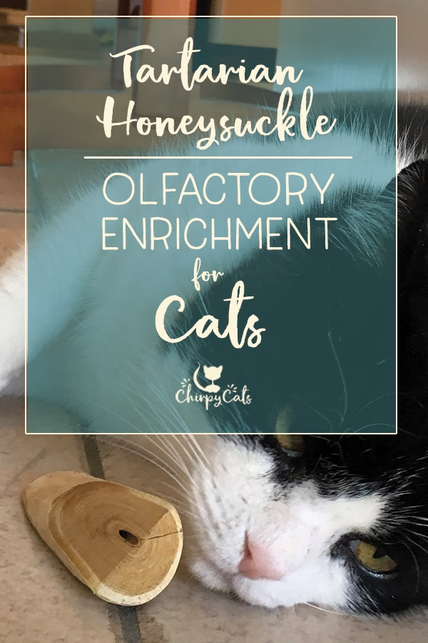 Tartarian honeysuckle is another great way to enhance your cat's olfactory enrichment experience. If your cat gives catnip the cold shoulder, spoil your cat with some Tartarian honeysuckle which has similar effects to catnip. #catenrichment #tartarianhoneysuckle #honeysuckleforcats #honeysucklecattoys #cattoys
