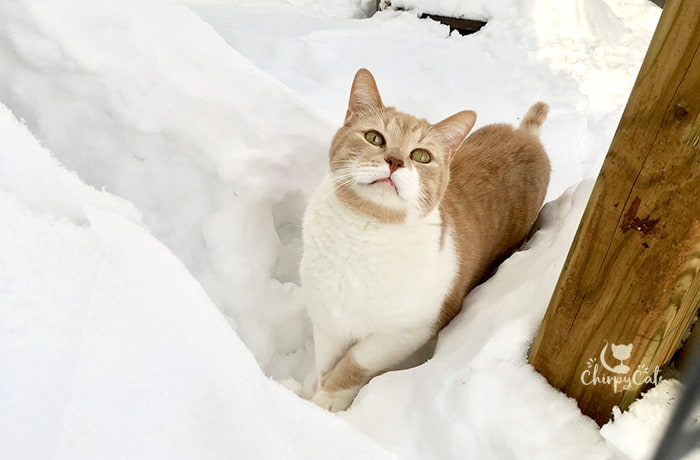 Ginger and white cat in deep snow